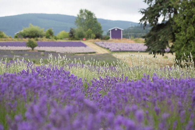 Purple Haze Lavender Farm Weddings Olympic Peninsula Wedding Venue